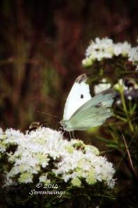 Vanilla Butterfly